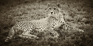 Ndutu Cheetah